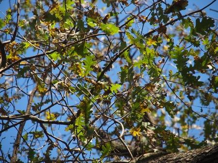 [Quercus robur]