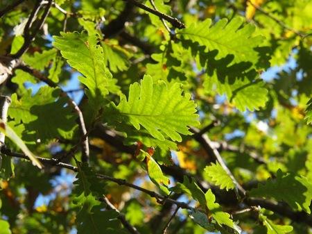 [Quercus frainetto]