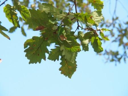 [Quercus petraea subsp. iberica]
