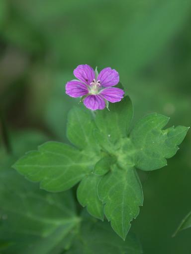 Geranium nepalense thunbergii